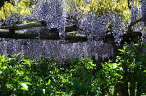 Peter Englander Blåregn Botanico Moutan, Umbrien