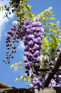 Peter Englander Blåregn med fyllda blommor. Wisteria floribunda 'Plena'