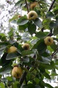 Peter Englander Mognande kvittenfrukter