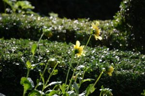 Peter Englander Buxbomsparterr, gul dahlia