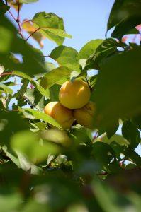 Mogen aprikos