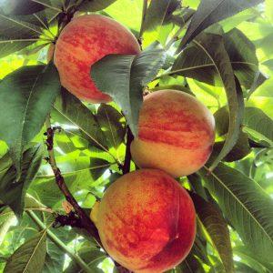 Mogna persikor