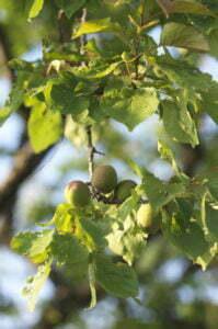 Mognande aprikos