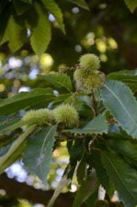 Peter Englander Kastanjens blad. Läderartade, mörkt gröna och sågtandade. På hösten knallgulorangea.
