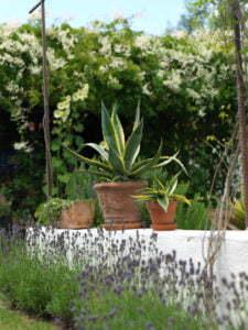 Peter Englander Låg mur med soliga agaveplantor. I bakgrunden bokharabinda.