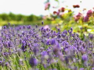 Peter Englander Lavendel!