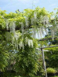 Peter Englander Pergola i trä byggd av stockar av ek. Apotekarns Trädgård