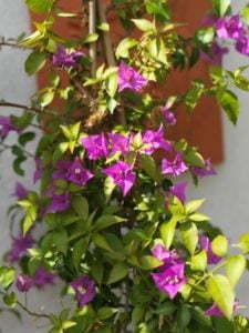 Peter Englander Bougainvillea på senhösten. Snart ramlar blommorna.