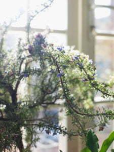 Peter Englander Kryprosmarin i blom