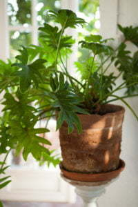 Peter Englander Trogen växt från stora möbelvaruhuset. Kommer inte ihåg namnet.