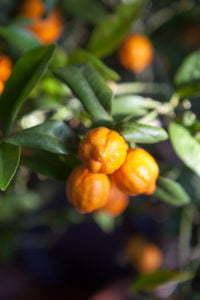Peter Englander Små apelsiner i vintervila.