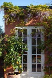 Peter Englander Välmående citronträd och rankande blåregn i full sol.