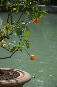 Peter Englander Citrusträd i fokus, Villa Déste