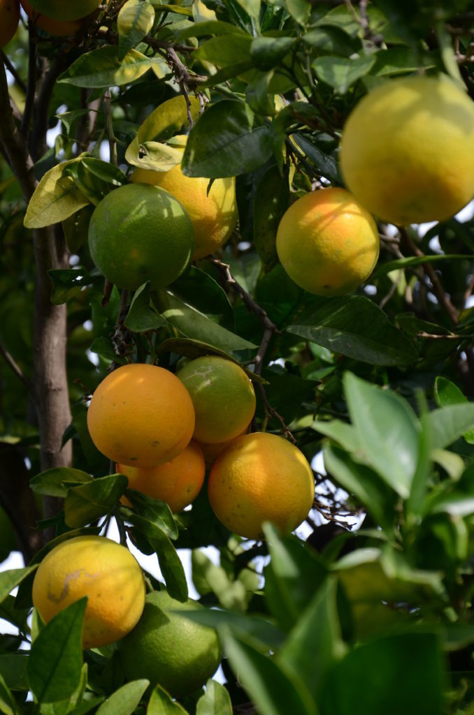 Peter Englander Apelsin