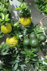 Peter Englander Apelsiner i olika mognad.