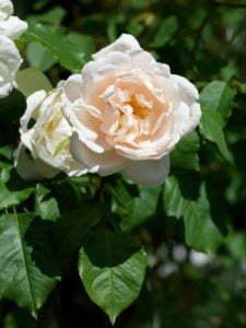 Peter Englander Min absoluta favoritklätterros. Madame Alfred Carrière'. Blommar till första frosten och doftar som en fransk parfymfabrik.