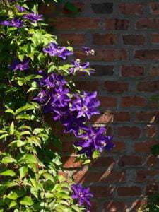 Peter Englander Clematis viticella 'Etoile Violette' mot tegelmur