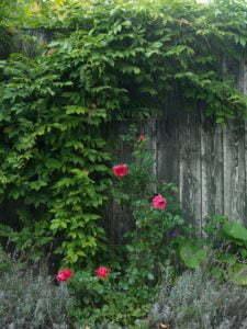 Peter Englander Blåregn och ros kamouflerar allt det träiga.