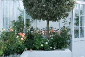 Peter Englander Upphöjd bädd med rosor och klotklippt silverpäron.