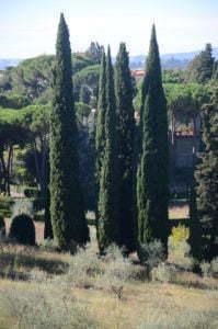 Peter Englander Cypresser och olivträd. I Sverige planterar vi enen 'Blue Arrow' och silverpilar.