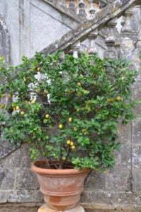 Peter Englander Terrakottakruka med citron.